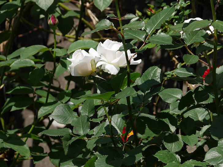 マーガレット・メリル(木立バラ)の花が増えて来た。2019年-6.jpg
