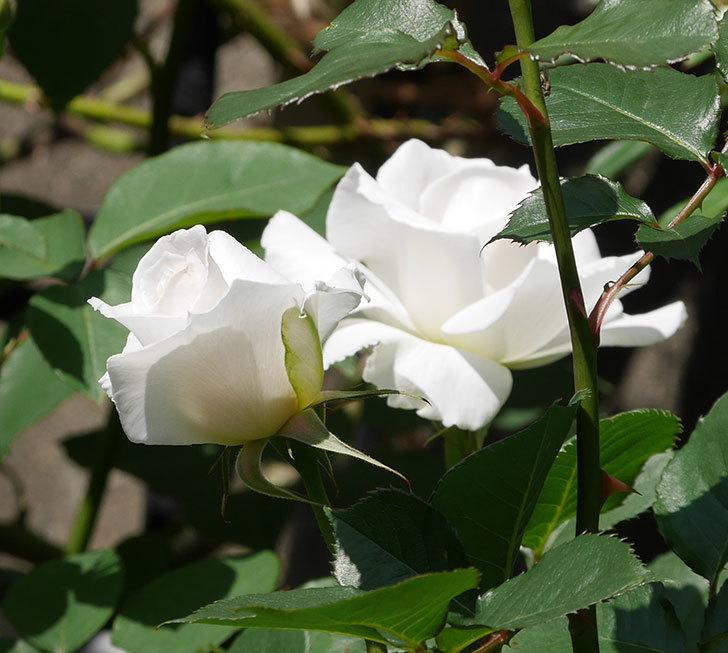 マーガレット・メリル(木立バラ)の花が増えて来た。2019年-7.jpg