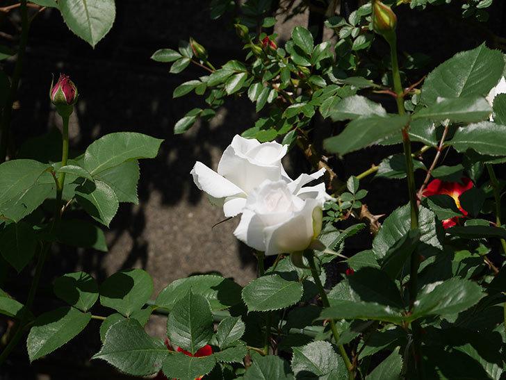 マーガレット・メリル(木立バラ)の花が増えて来た。2019年-8.jpg