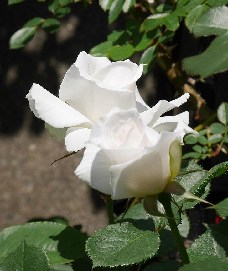 マーガレット・メリル(木立バラ)の花が増えて来た。2019年-9.jpg