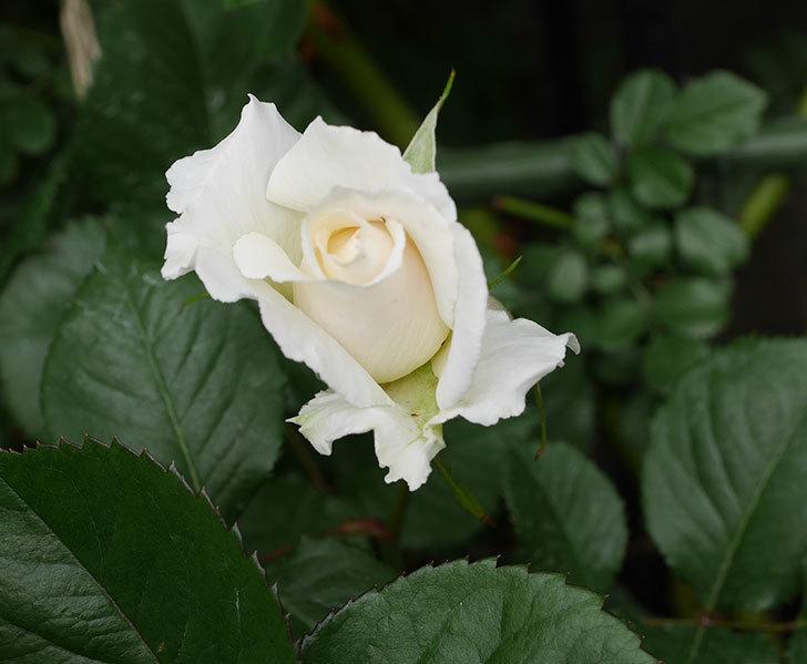 マーガレット・メリル(木立バラ)の花が少し咲いた。2019年-1.jpg