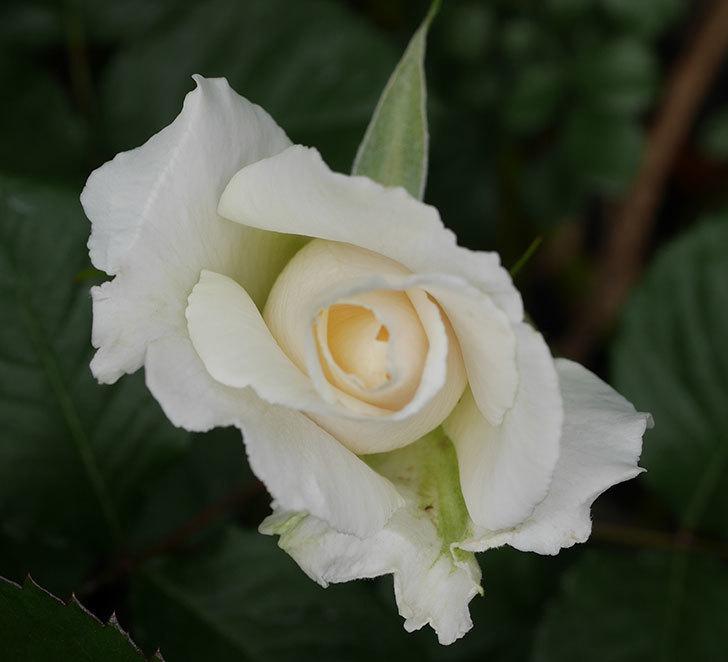 マーガレット・メリル(木立バラ)の花が少し咲いた。2019年-2.jpg