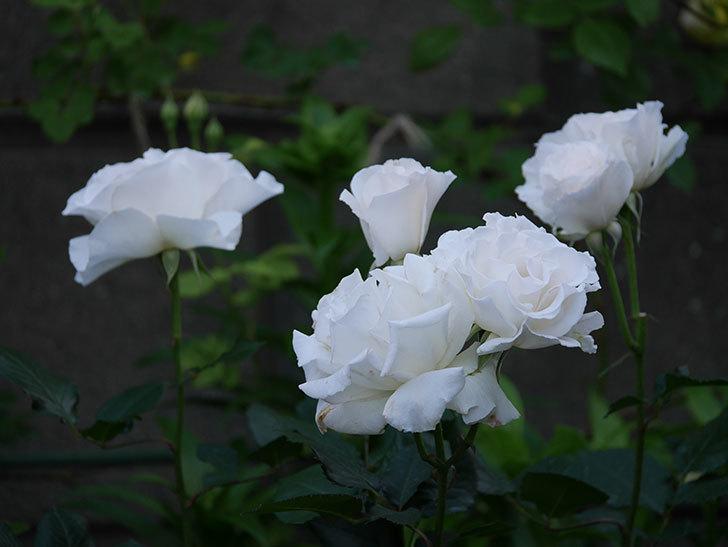 マーガレット・メリル(木立バラ)の花が房で咲いた。2020年-1.jpg