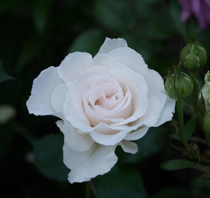 マーガレット・メリル(木立バラ)の花が房で咲いた。2020年-10.jpg