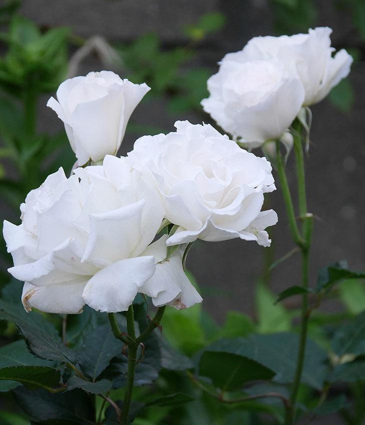 マーガレット・メリル(木立バラ)の花が房で咲いた。2020年-2.jpg