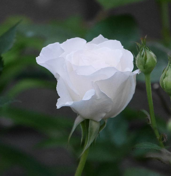 マーガレット・メリル(木立バラ)の花が房で咲いた。2020年-3.jpg