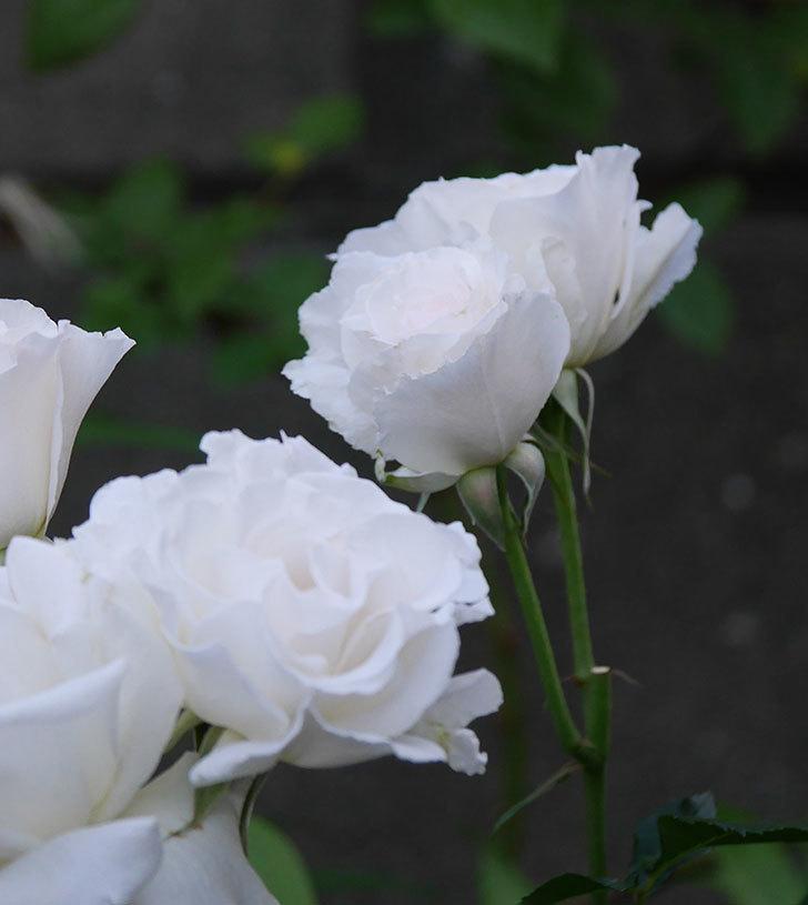 マーガレット・メリル(木立バラ)の花が房で咲いた。2020年-4.jpg