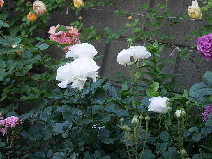 マーガレット・メリル(木立バラ)の花が房で咲いた。2020年-5.jpg