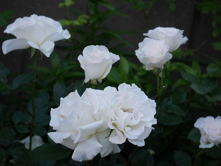 マーガレット・メリル(木立バラ)の花が房で咲いた。2020年-6.jpg