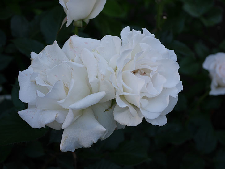 マーガレット・メリル(木立バラ)の花が房で咲いた。2020年-7.jpg
