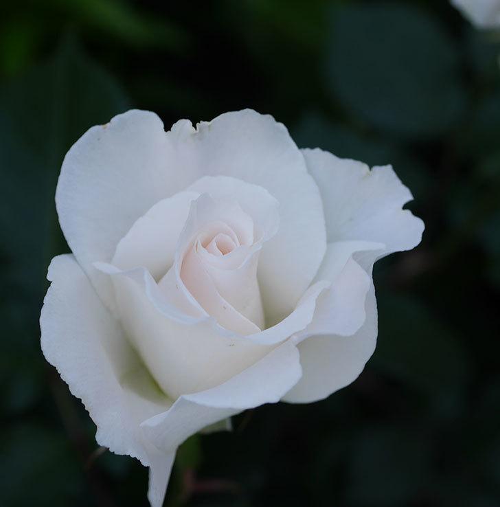 マーガレット・メリル(木立バラ)の花が房で咲いた。2020年-8.jpg