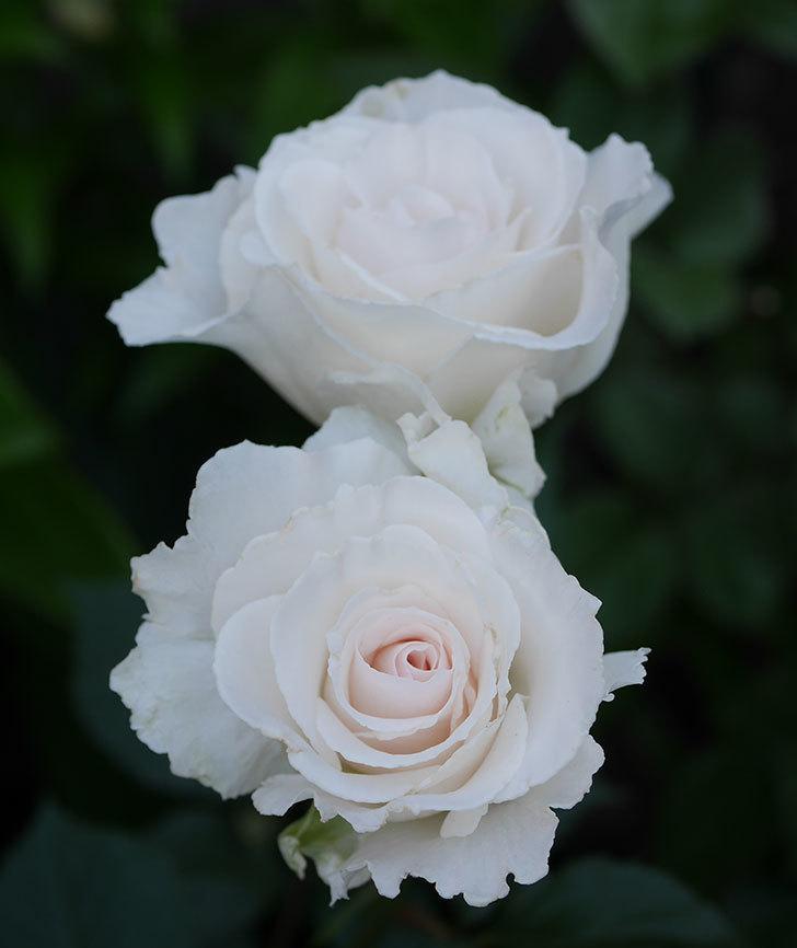 マーガレット・メリル(木立バラ)の花が房で咲いた。2020年-9.jpg