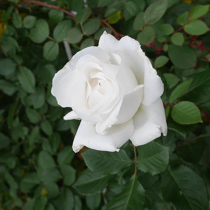 マーガレット・メリル(木立バラ)の花が綺麗咲いた。2019年-1.jpg