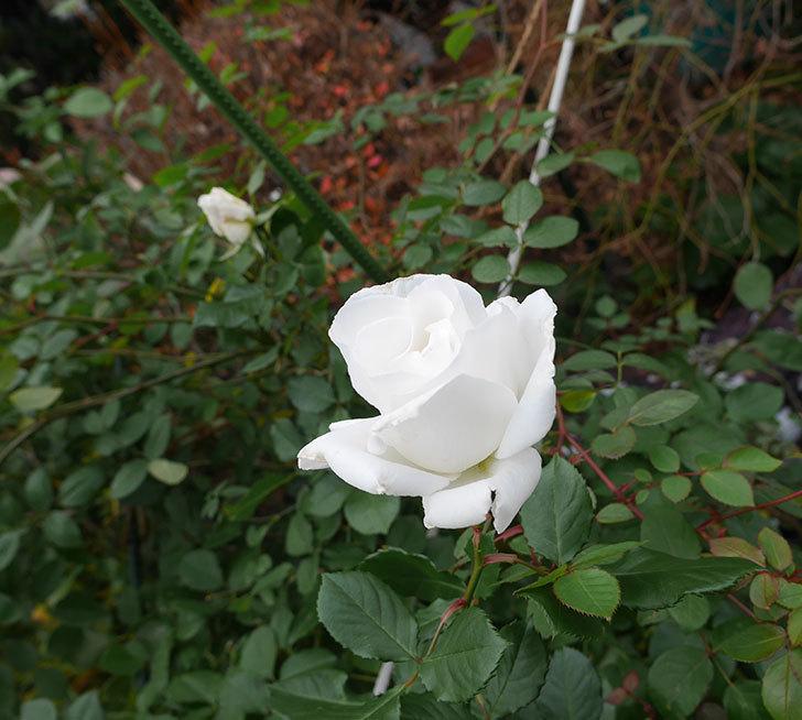 マーガレット・メリル(木立バラ)の花が綺麗咲いた。2019年-2.jpg