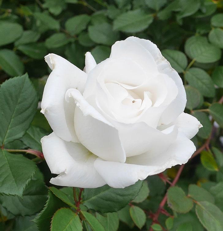 マーガレット・メリル(木立バラ)の花が綺麗咲いた。2019年-3.jpg