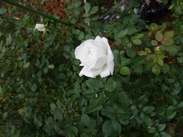 マーガレット・メリル(木立バラ)の花が綺麗咲いた。2019年-4.jpg