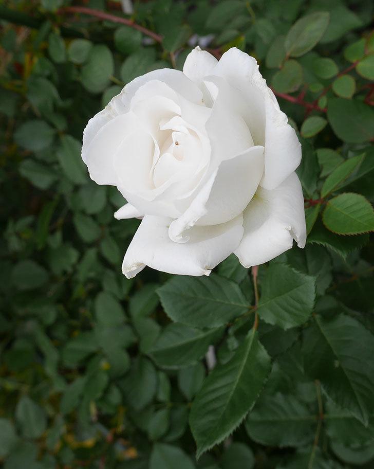 マーガレット・メリル(木立バラ)の花が綺麗咲いた。2019年-5.jpg