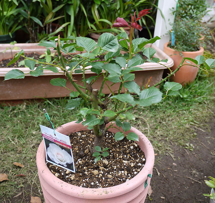 マーガレット・メリル(木立バラ)の開花株をテラコッタ鉢に植えた。2016年-1.jpg