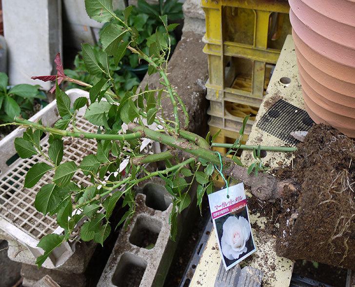 マーガレット・メリル(木立バラ)の開花株をテラコッタ鉢に植えた。2016年-2.jpg