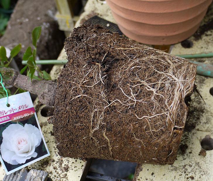 マーガレット・メリル(木立バラ)の開花株をテラコッタ鉢に植えた。2016年-3.jpg