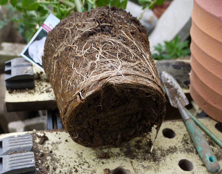 マーガレット・メリル(木立バラ)の開花株をテラコッタ鉢に植えた。2016年-4.jpg