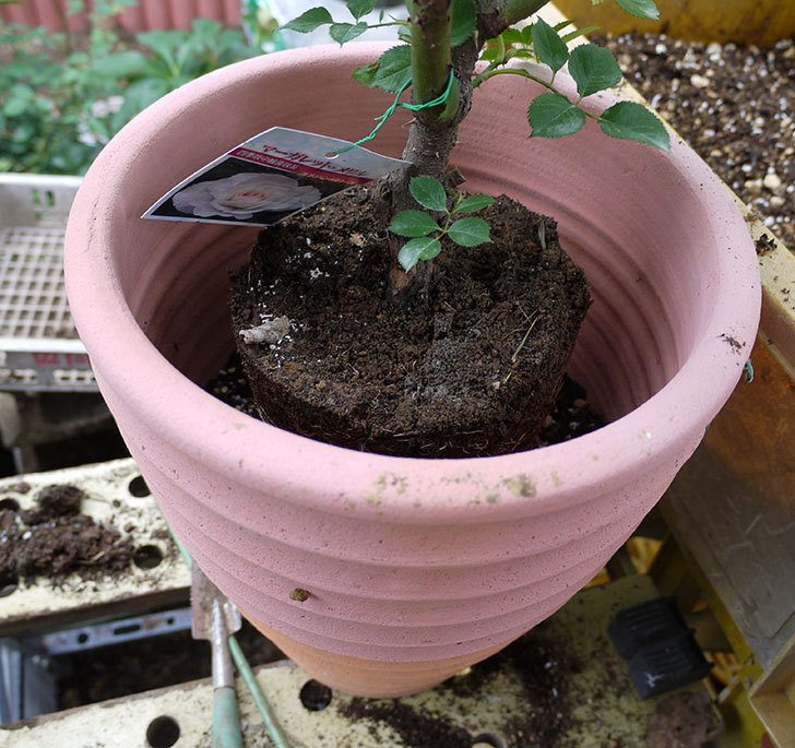 マーガレット・メリル(木立バラ)の開花株をテラコッタ鉢に植えた。2016年-5.jpg