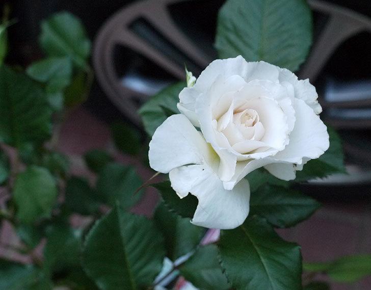 マーガレット・メリル(木立バラ)の開花株買って来た。2016年-1.jpg