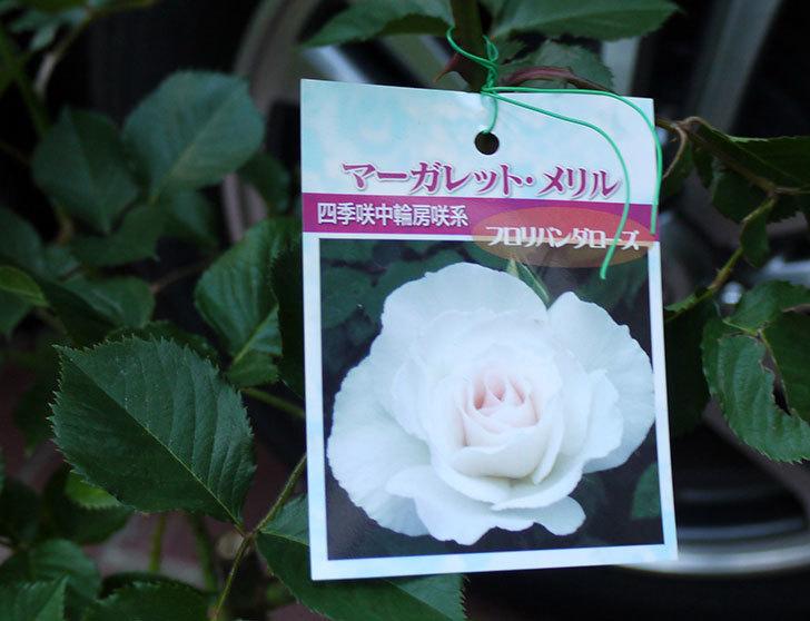 マーガレット・メリル(木立バラ)の開花株買って来た。2016年-3.jpg