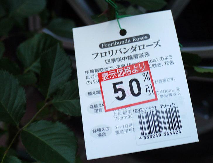 マーガレット・メリル(木立バラ)の開花株買って来た。2016年-4.jpg