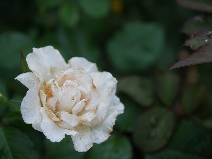マーガレット・メリル(Margaret Merril)の2番花がまた咲いた。木立バラ。2020年-002.jpg