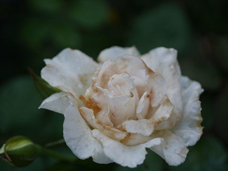 マーガレット・メリル(Margaret Merril)の2番花がまた咲いた。木立バラ。2020年-003.jpg