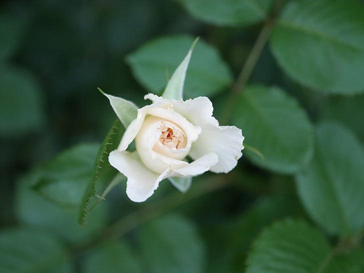 マーガレット・メリル(Margaret Merril)の2番花がまた咲いた。木立バラ。2020年-004.jpg