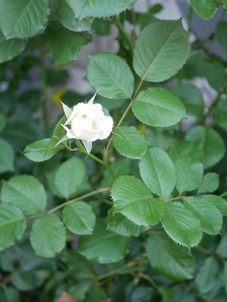 マーガレット・メリル(Margaret Merril)の2番花がまた咲いた。木立バラ。2020年-006.jpg