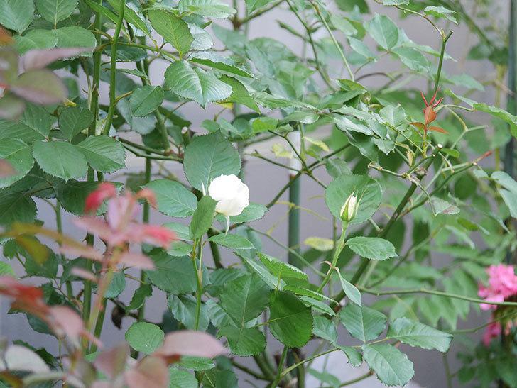 マーガレット・メリル(Margaret Merril)の2番花がまた咲いた。木立バラ。2020年-007.jpg