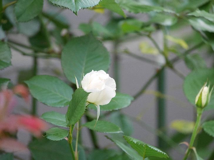 マーガレット・メリル(Margaret Merril)の2番花がまた咲いた。木立バラ。2020年-008.jpg