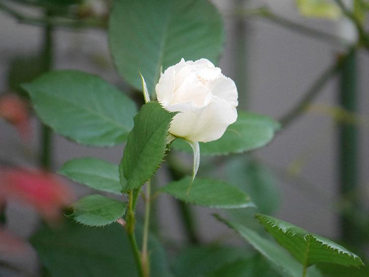 マーガレット・メリル(Margaret Merril)の2番花がまた咲いた。木立バラ。2020年-009.jpg