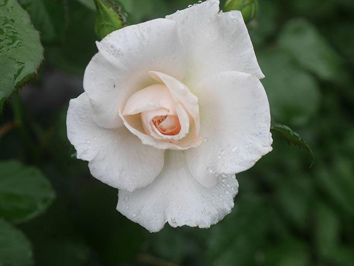 マーガレット・メリル(Margaret Merril)の2番花が咲いた。木立バラ。2020年-001.jpg