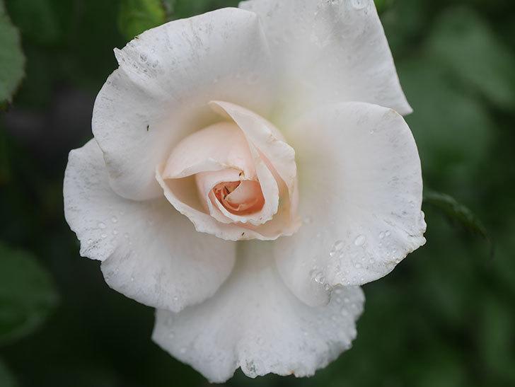 マーガレット・メリル(Margaret Merril)の2番花が咲いた。木立バラ。2020年-002.jpg