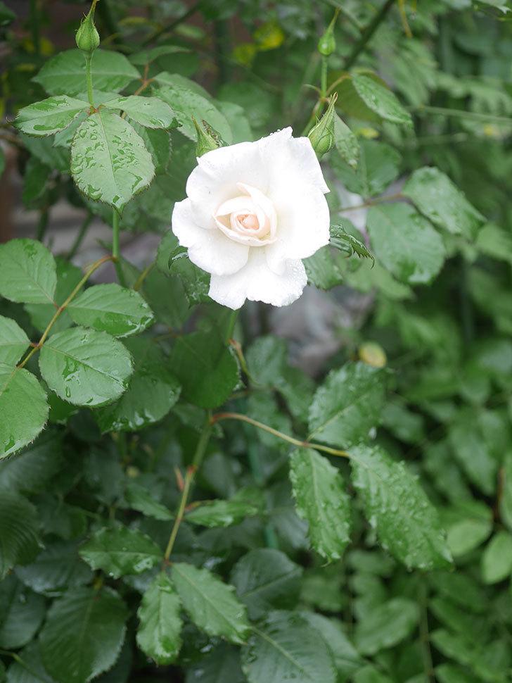 マーガレット・メリル(Margaret Merril)の2番花が咲いた。木立バラ。2020年-003.jpg