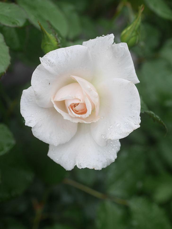 マーガレット・メリル(Margaret Merril)の2番花が咲いた。木立バラ。2020年-004.jpg