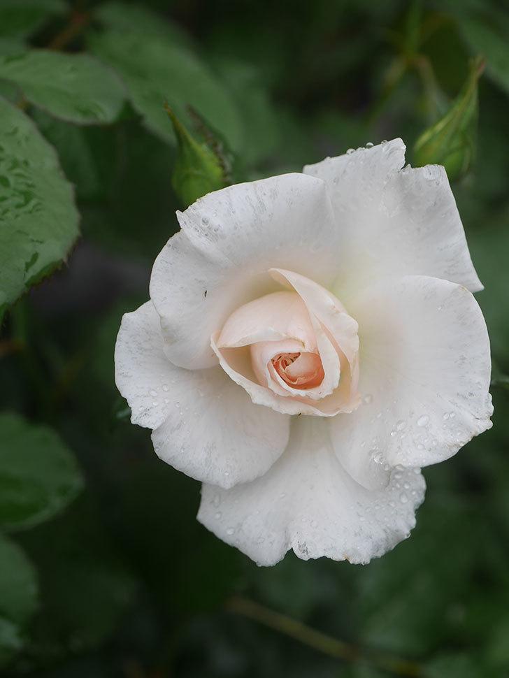 マーガレット・メリル(Margaret Merril)の2番花が咲いた。木立バラ。2020年-005.jpg