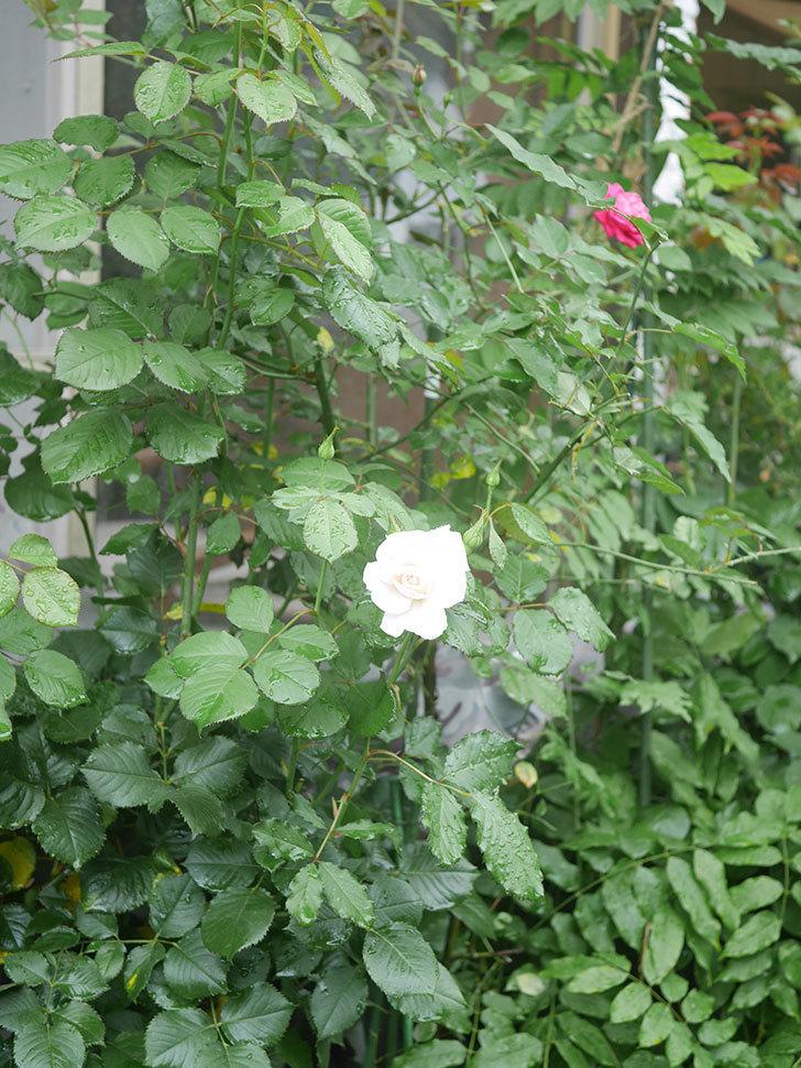 マーガレット・メリル(Margaret Merril)の2番花が咲いた。木立バラ。2020年-006.jpg