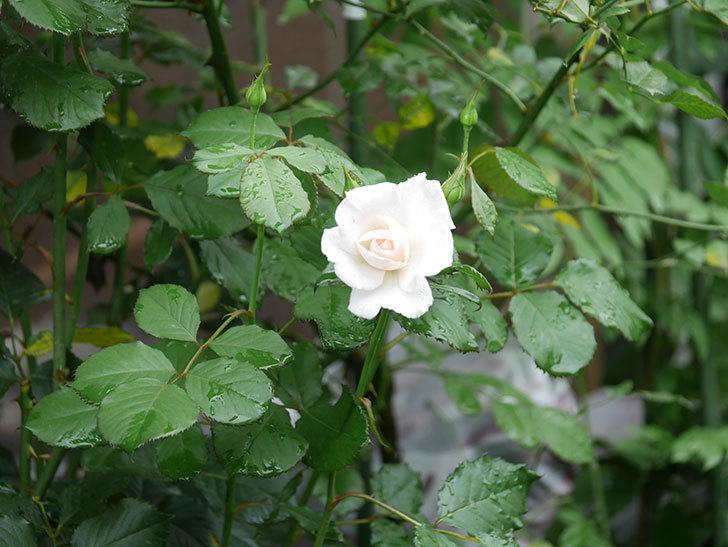 マーガレット・メリル(Margaret Merril)の2番花が咲いた。木立バラ。2020年-007.jpg