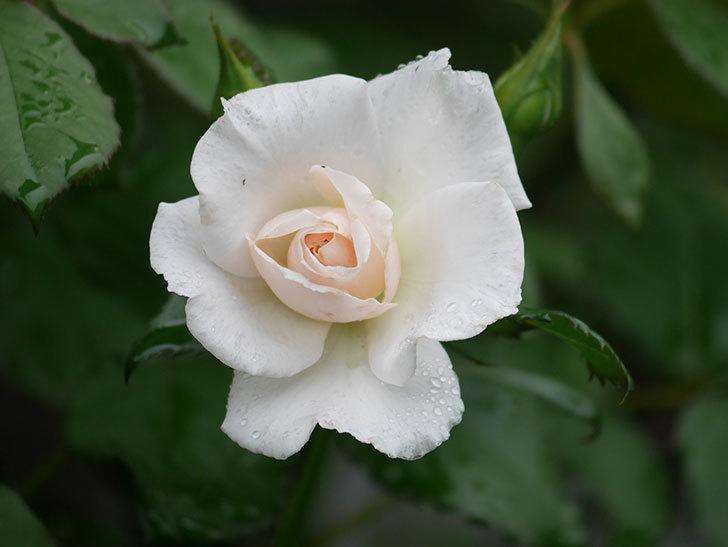 マーガレット・メリル(Margaret Merril)の2番花が咲いた。木立バラ。2020年-008.jpg