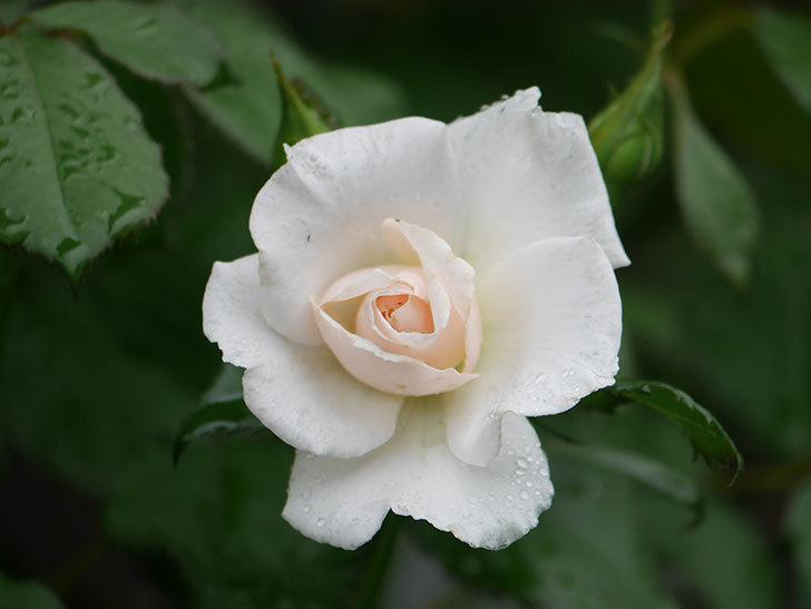 マーガレット・メリル(Margaret Merril)の2番花が咲いた。木立バラ。2020年-009.jpg