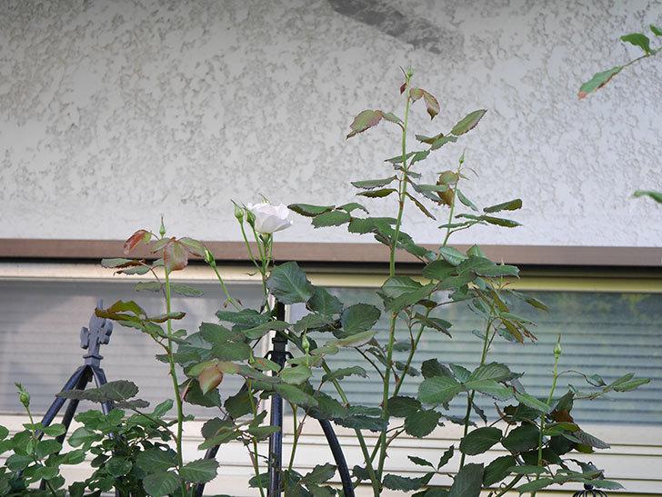 マーガレット・メリル(Margaret Merril)の2番花が咲いた。木立バラ。2021年-001.jpg