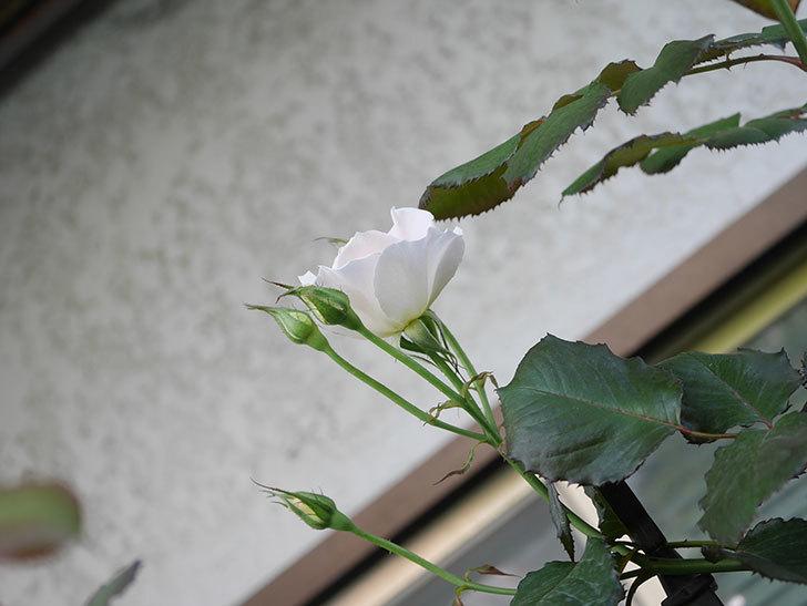 マーガレット・メリル(Margaret Merril)の2番花が咲いた。木立バラ。2021年-002.jpg