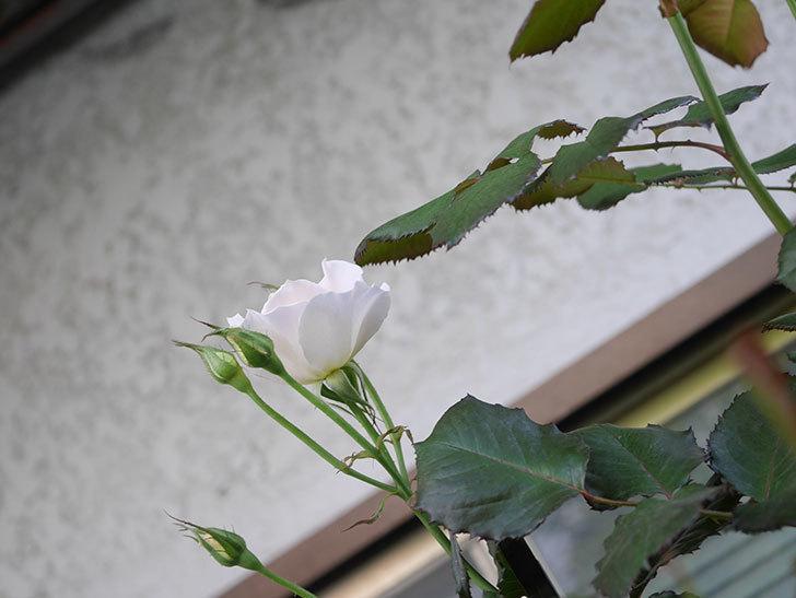 マーガレット・メリル(Margaret Merril)の2番花が咲いた。木立バラ。2021年-003.jpg