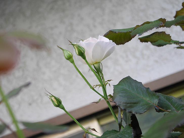 マーガレット・メリル(Margaret Merril)の2番花が咲いた。木立バラ。2021年-004.jpg