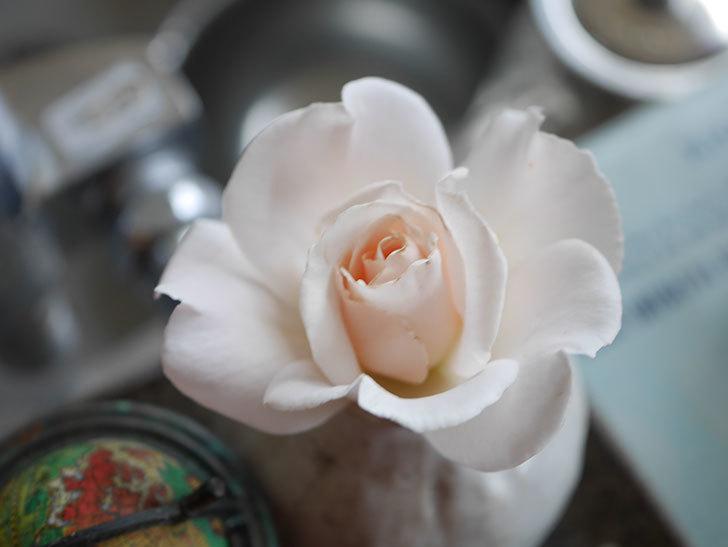 マーガレット・メリル(Margaret Merril)の2番花が咲いた。木立バラ。2021年-005.jpg